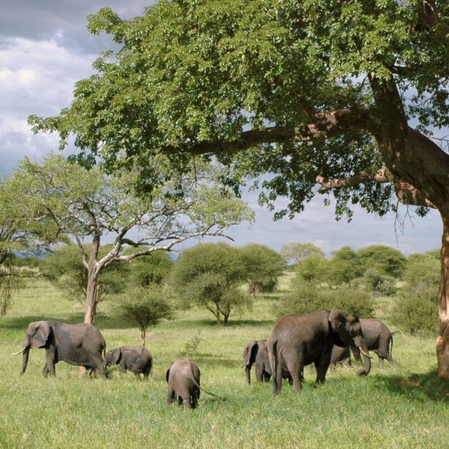 Elephants-africa-safari